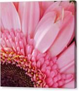 Pink Daisy Close-up Canvas Print