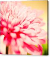 Pink Daisy Subdued Canvas Print