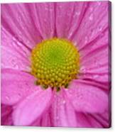 Pink Daisy With Raindrops Canvas Print