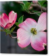 Pink Dogwood In The Morning Light Canvas Print
