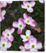 Pink Dogwood Mo Bot Garden Dsc01756 Canvas Print
