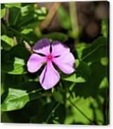 Pink Downy Phlox Wildflower Canvas Print
