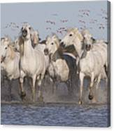 Pink Flamingoes And White Horses Canvas Print