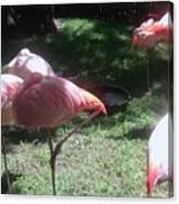 Pink Flamingos Resting Canvas Print