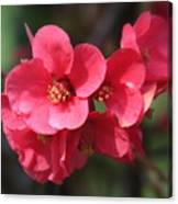 Pink Flowering Quince Canvas Print