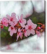 Pink Flowering Tree - Crabapple With Drops Canvas Print