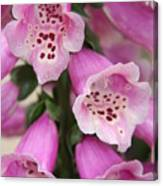 Pink Foxglove Canvas Print
