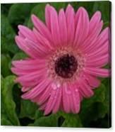 Pink Gerbera Daisy  Canvas Print