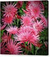 Pink Gerbera Heaven Canvas Print