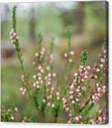 Pink Heather, Calluna Vulgaris, In Foggy Forest Canvas Print