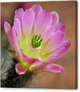 Pink Hedgehog Cactus Canvas Print