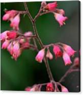 Pink Heuchera Flower 1 Canvas Print