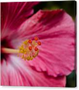 Pink Hibiscus Close-up Canvas Print