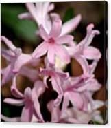Pink Hyacinth Canvas Print