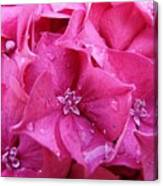 Pink Hydrangea After Rain Canvas Print