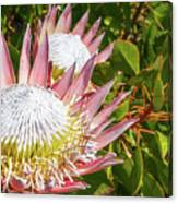 Pink King Protea Flowers Canvas Print