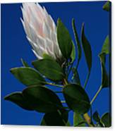 Pink King Protea Kula Maui Hawaii Canvas Print