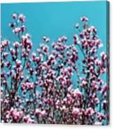 Pink Magnolia Splendor Canvas Print