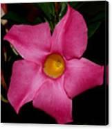 Pink Mandevilla Canvas Print