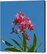 Pink Oleander Flower In Spring Canvas Print
