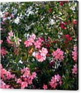 Pink Oleanders Canvas Print
