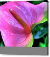 Pink Peace Lily Canvas Print