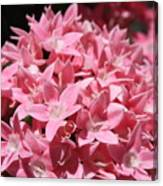 Pink Pentas Beauties Canvas Print