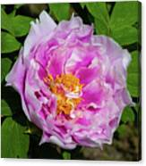 Pink Peony Blossom Canvas Print
