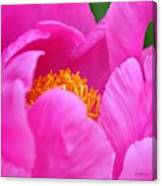 Pink Peony In Evening Canvas Print