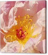 Pink Peony Canvas Print