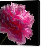 Pink Peony On A Black Background Canvas Print