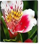 Pink Peruvian Lily 1 Canvas Print