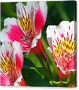 Pink Peruvian Lily 2 Canvas Print