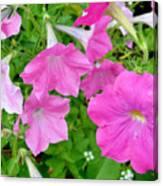 Pink Petunia Flower 11 Canvas Print