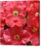Pink Petunias  Canvas Print