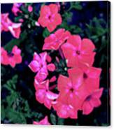 Pink Phlox Canvas Print