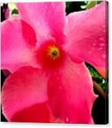 Pink Pinwheel Canvas Print
