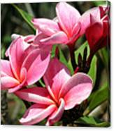 Pink Plumeria Canvas Print