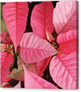 Pink Poinsettias Canvas Print