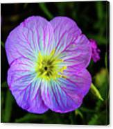 Pink Primrose Canvas Print
