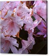 Pink Rhododendrums  Canvas Print