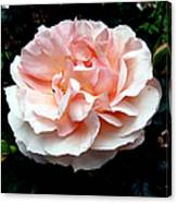 Pink Rose 4 Canvas Print
