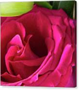 Pink Rose And Bud Close-up Canvas Print