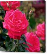 Pink Rose And Bud Canvas Print