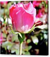 Pink - Rose Bud - Beauty Canvas Print