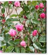 Pink Rose Buds Canvas Print