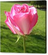 Pink Rose In The Sunlight Canvas Print