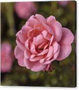 Pink Rose Instagram Canvas Print