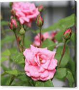 Pink Rose With Buds Canvas Print