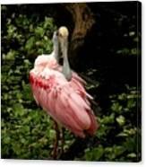 Pink Spoonbill Canvas Print